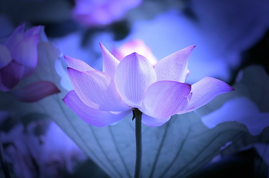 Lotus - 1 (2)