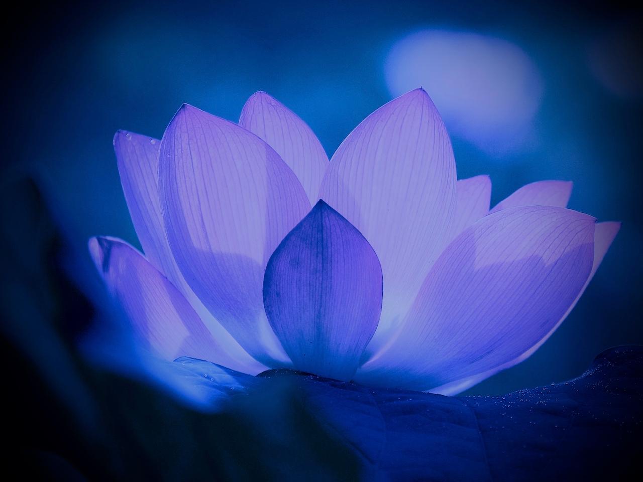 Lotus - 1